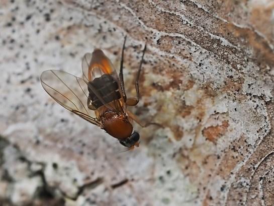 P.fasciata female
