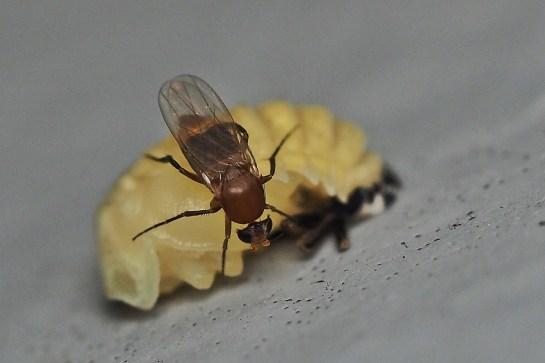 Ph fasciata