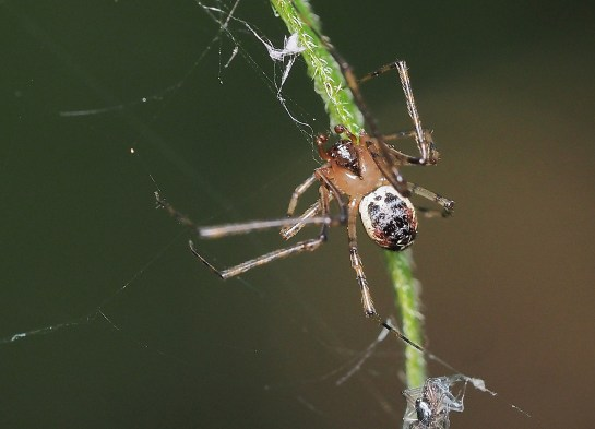 P.tincta male