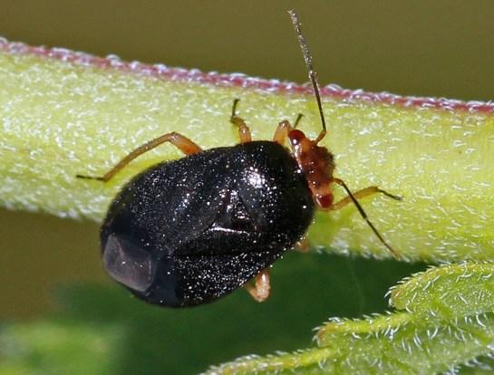Strongyl.leucocephalus