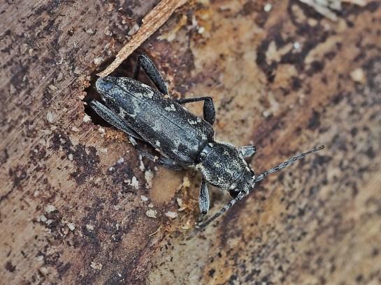 X.rusticus