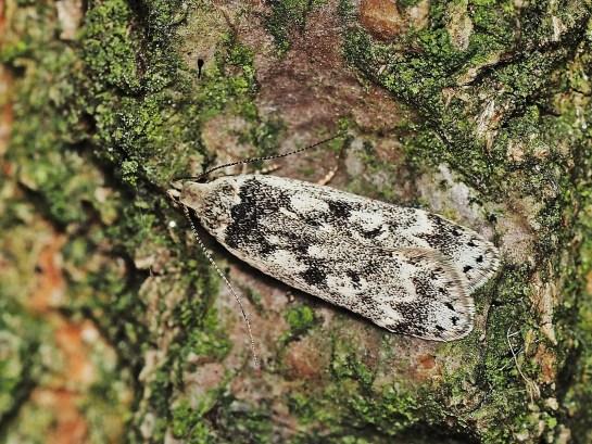 A.blattariella
