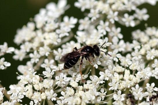 An.nitidiuscula