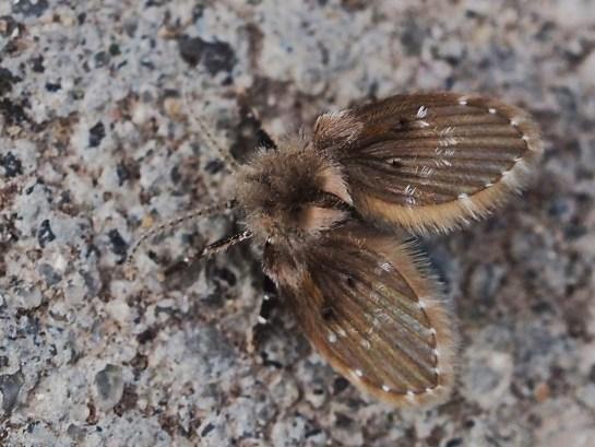 C.albipunctata