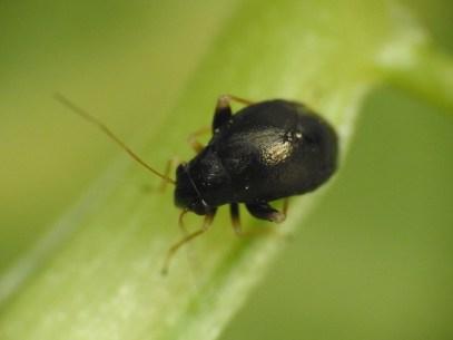 H.apterus