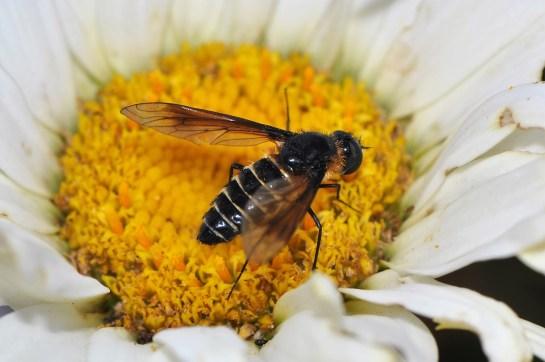 Lomatia female