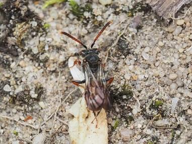 N.fabriciana