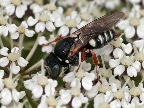 Ox.variegatus.
