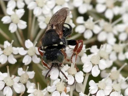 Ox.variegatus