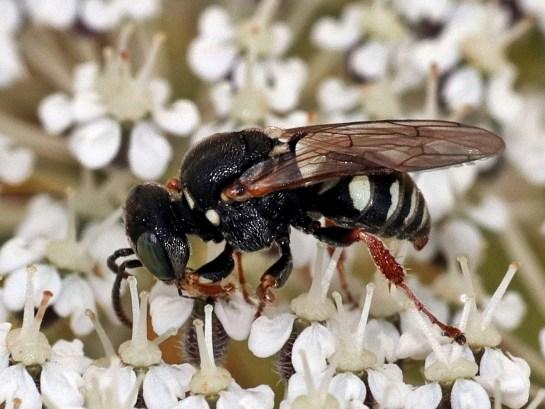 Oxyb.variegatus