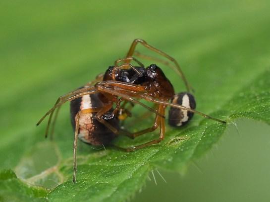 Pachygnatha mating