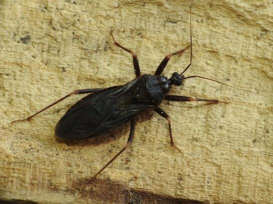 R.personatus
