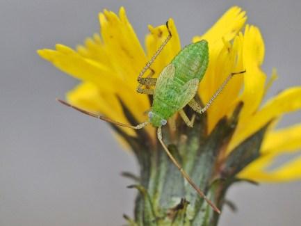 A.lineolatus