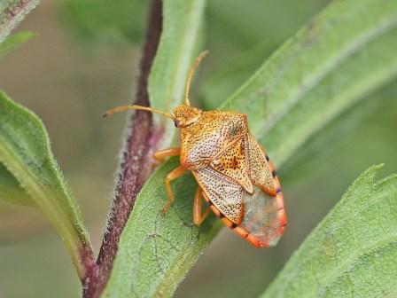 E.grisea