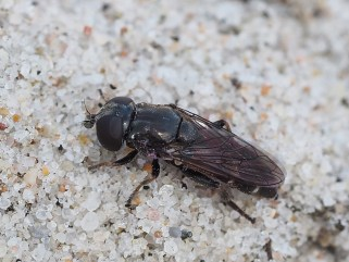 E.strigatus