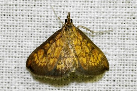 Ec.rubiginalis