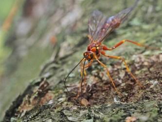 Megarhyssa female