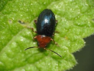 P.fuscicornis