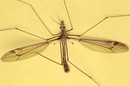 T.lateralis male