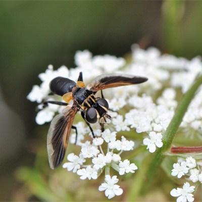 Nemezja Trichopoda pennipes