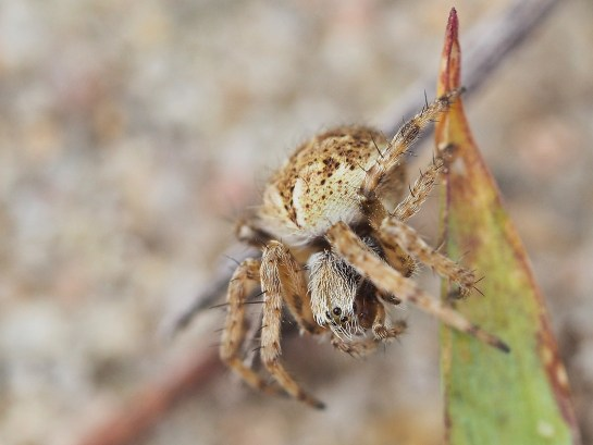A.redii
