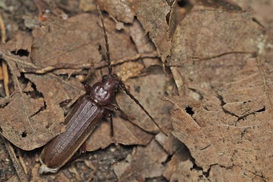 A.rusticus