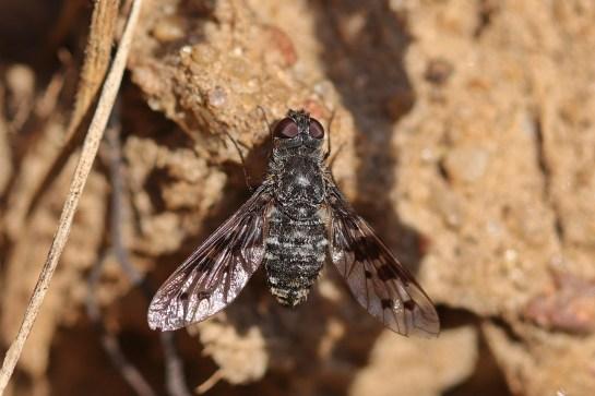 A.varia