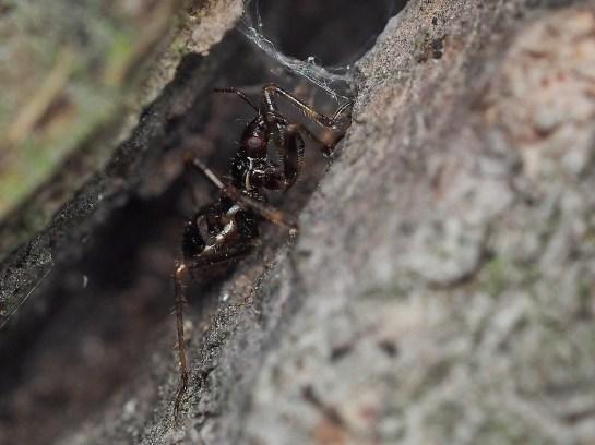 H.mirmicoides