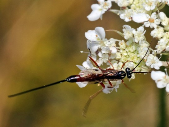 Lissonota species