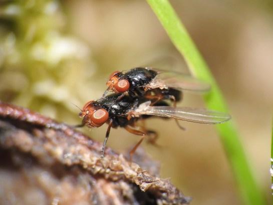 Parapiophila.