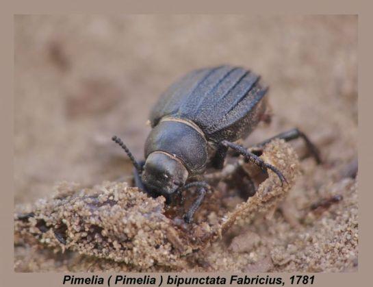 Pim.bipunctata
