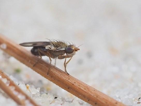 T.obscurella