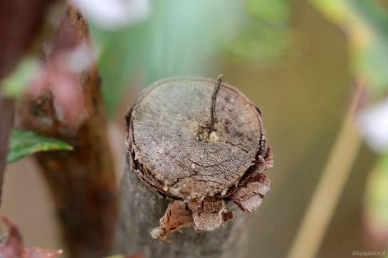 Microdynerus nest