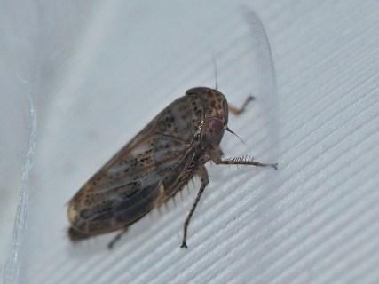E.incisus