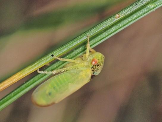 I.scutellatus