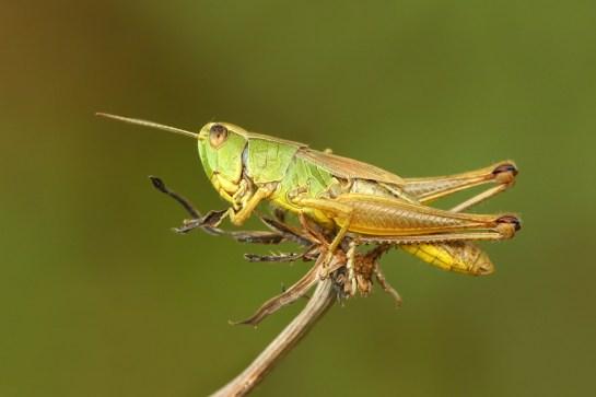 P paralellus female