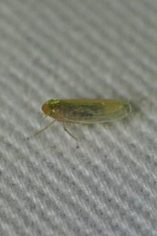 P.cephalotes