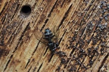 Phytomyptera