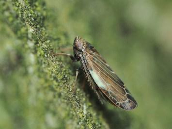 S.subfusculus