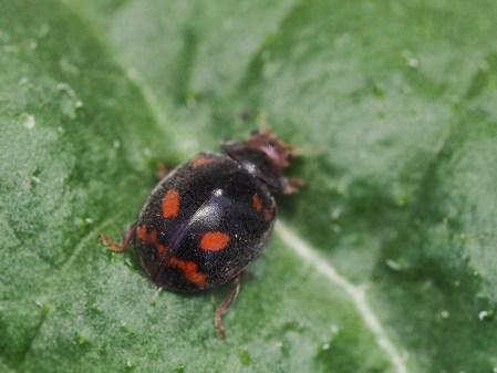 Subcoccinella