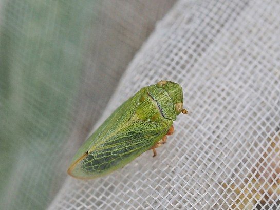 T.virescens