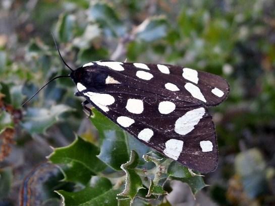 A.villica