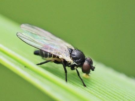 Agromyzidae species