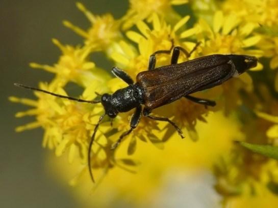 An.ustulatus