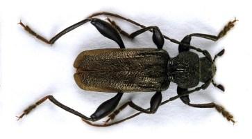 C.coriaceum