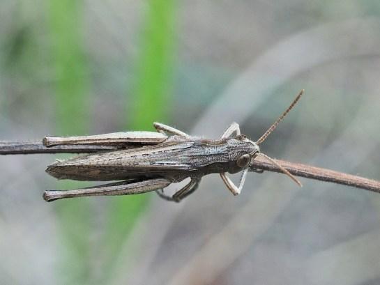 C.dorsatus