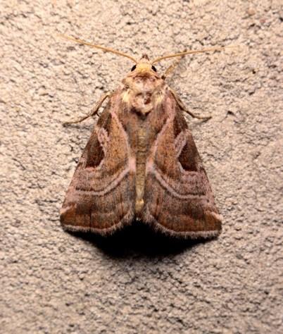 E.virgo