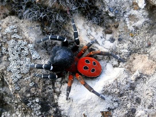 E.ruficapillus male
