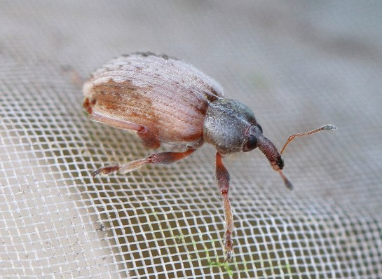 H.plantaginis