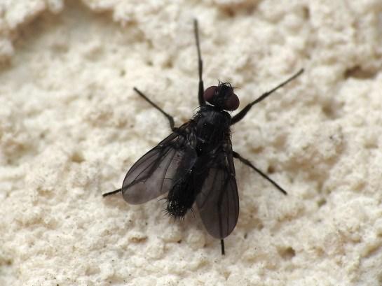 M.roralis male